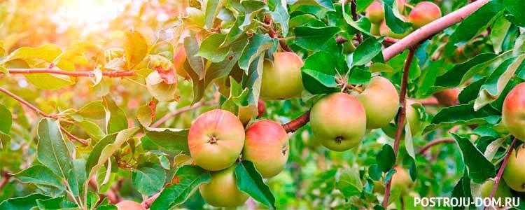 Как правильно выбрать саженцы яблони