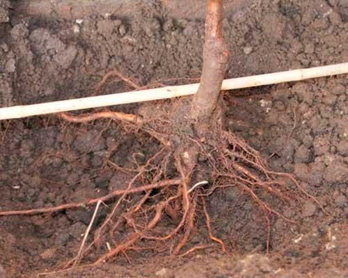 Высаживать деревца следует вдвоем