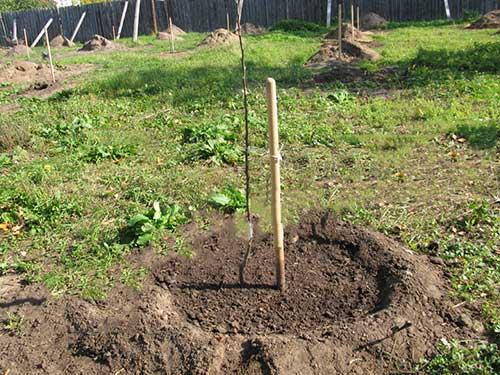 Высаженную яблоньку полейте двумя-тремя ведрами теплой воды
