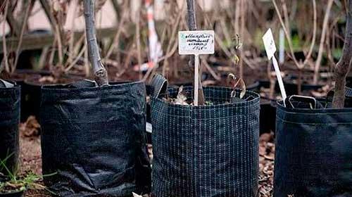 Для защиты корней саженца от пересыхания во время транспортировки, их оборачивают во влажную ткань